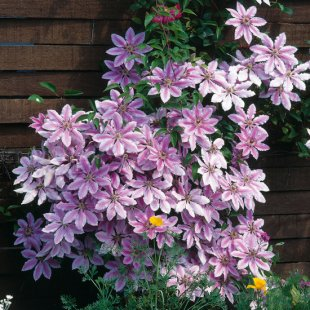 Clematis 'Nelly Moser' | Waldrebe 'Nelly Moser'