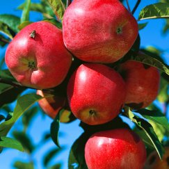 Malus 'Gloster 69' CAC | Apfel 'Gloster 69'