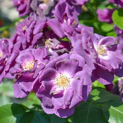 Rosa 'Rhapsody in Blue' -R- BT | Beetrose 'Rhapsody in Blue' -R-