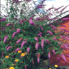 Buddleja 'Black Knight' | Sommerflieder 'Black Knight'