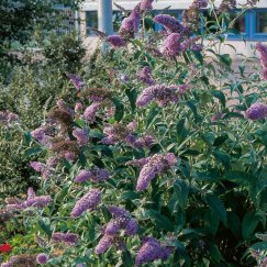 Buddleja 'Empire Blue' | Sommerflieder 'Empire Blue'