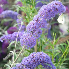 Buddleja davidii 'Empire Blue' | Sommerflieder 'Empire Blue'