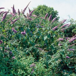 Buddleja 'Fascination' | Sommerflieder 'Fascination'