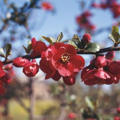 Chaenomeles 'Crimson and Gold' | Zierquitte 'Crimson and Gold'