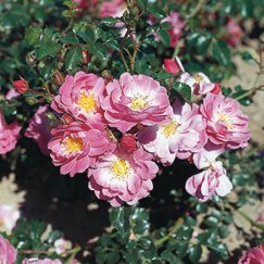 Rosa 'Magic Meidiland' -R- BDR | Bodend.Rose 'Magic Meidiland' -R-ADR-Rose