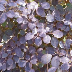 Cotinus coggygria 'Royal Purple' | Roter Perückenstrauch 'Royal Purple'