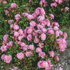 Rosa 'Satina' -R- BDR | Bodend.Rose 'Satina' -R- ADR-Rose