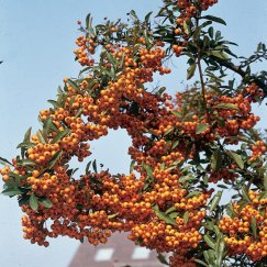 Pyracantha 'Orange Charmer' | Feuerdorn 'Orange Charmer'