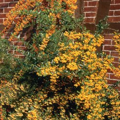 Pyracantha 'Orange Glow' | Feuerdorn 'Orange Glow'