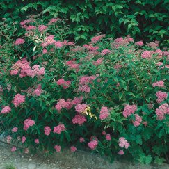 Spiraea japonica 'Anthony Waterer' | Rote Sommerspiere