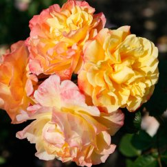 Rosa 'Moonlight' -R- KL | Kletterrose 'Moonlight' -R-