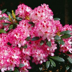 Rhododendron 'Hachmann's Charmant'-R- | Rhododendron 'Hachmann's Charmant'