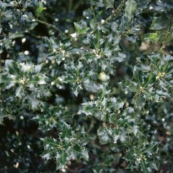 Ilex meserveae 'Blue Angel' -R- | Stechpalme 'Blue Angel'