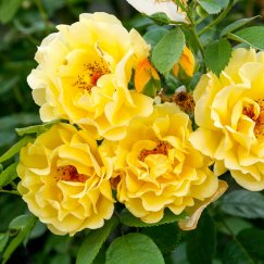 Rosa 'Golden Gate' -R- KL | Kletterrose 'Golden Gate' -R- ADR-Rose