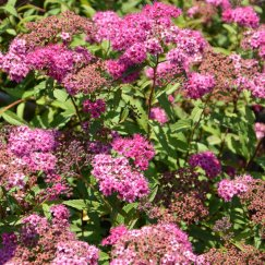 Spiraea japonica 'Anthony Waterer Sapho' | Rote Sommerspiere 'Sapho'