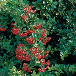 Pyracantha 'Red Column' | Feuerdorn 'Red Column'