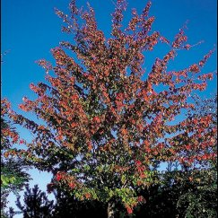Acer rubrum 'Red Sunset' | Rotahorn 'Red Sunset'