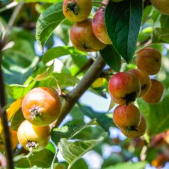 Malus 'Evereste' -R- | Zierapfel 'Evereste' -R-