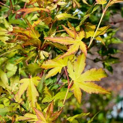 Acer palmatum 'Orange Dream' | Fächerahorn 'Orange Dream'