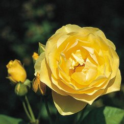 Rosa 'Graham Thomas' -R- STR | Strauchrose 'Graham Thomas' -R-