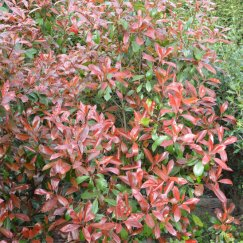 Photinia fraseri 'Red Robin' | Glanzmispel 'Red Robin'