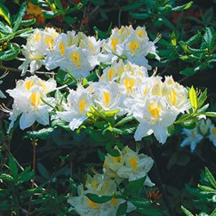 Rhododendron lut.'Persil' | Sommergrüne Azalee 'Persil'