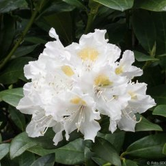 Rhododendron Hybr.'Cunningham's White' | Rhododendron-Hybride 'Cunningham's White'