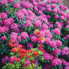 Rhododendron 'English Roseum' | Rhododendron 'English Roseum'