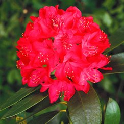 Rhododendron 'Old Port' | Rhododendron 'Old Port'