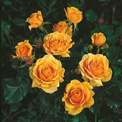 Rosa 'Amber Queen' -R- BT | Beetrose 'Amber Queen' -R-