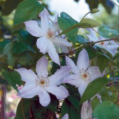 Clematis 'Duchess of Edinburgh' | Waldrebe 'Duchess of Edinburgh'