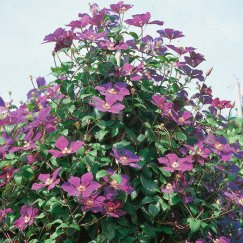 Clematis 'Lady Betty Balfour' | Waldrebe 'Lady Betty Balfour'