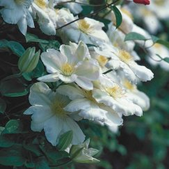 Clematis 'Madame Le Coultre' | Waldrebe 'Madame Le Coultre'