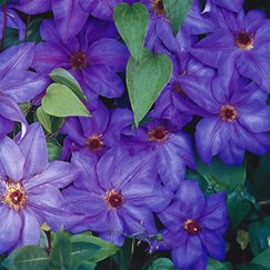 Clematis 'The President' | Waldrebe 'The President'