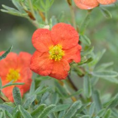 Potentilla 'Red Ace' | Fingerstrauch 'Red Ace'