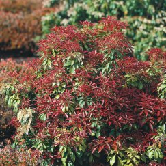 Pieris japonica 'Mountain Fire' | Schattenglöckchen 'Mountain Fire'