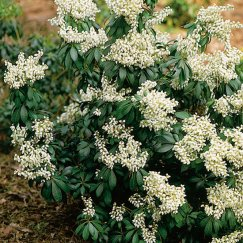 Pieris japonica 'Purity' | Schattenglöckchen 'Purity'