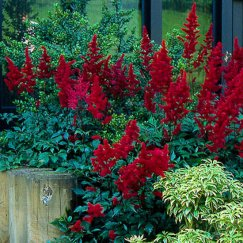 Astilbe arendsii 'Fanal' | Arends Prachtspiere